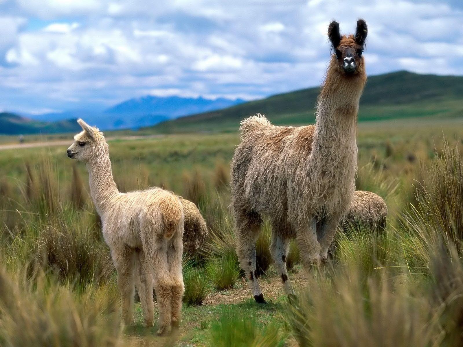 Nice Llama Wallpaper