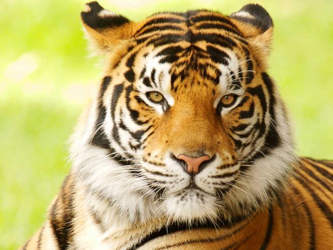 Bengel Tiger Picture
