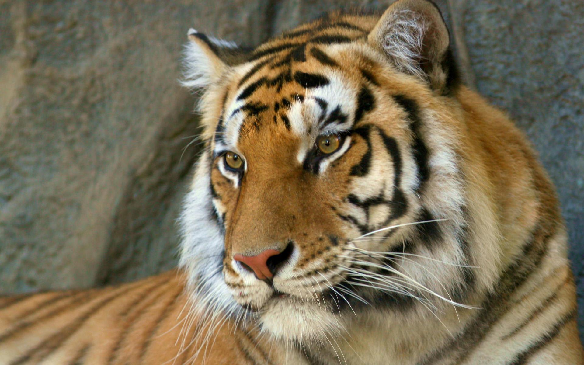 Nice Bengal Tiger Wallpaper