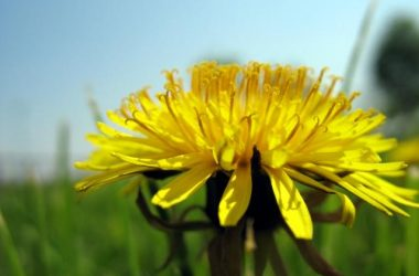 Nice Dandelion Image