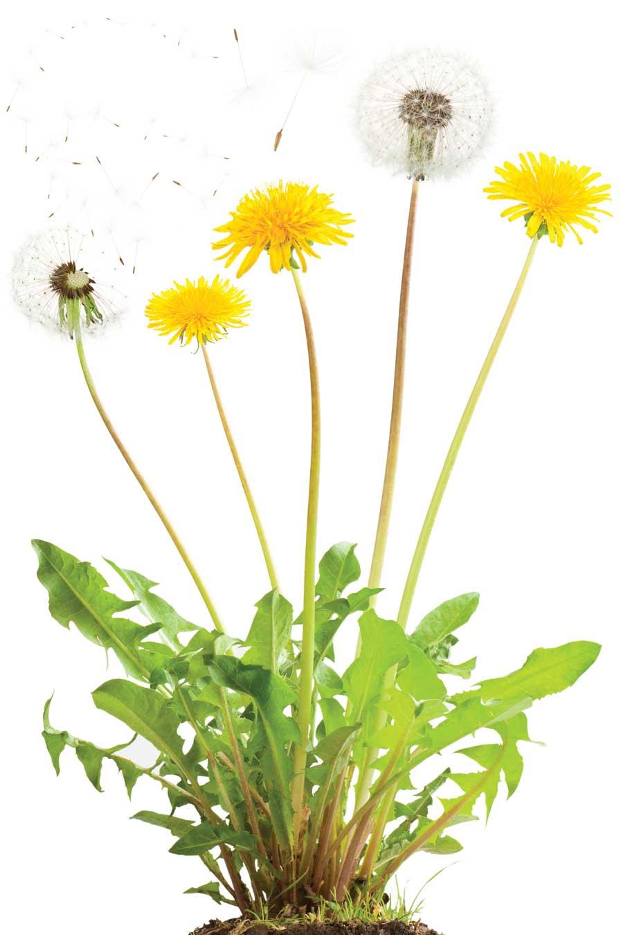 Stunning Dandelion Image