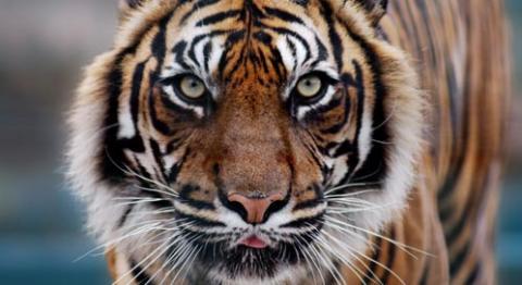 Tiger Dirk
