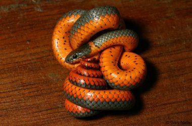 Free Orange Snake