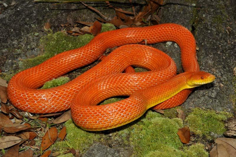 Great Orange Snake