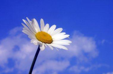 Nice White Daisy