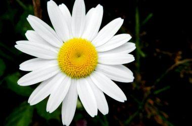 Stunning White Daisy