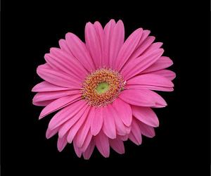 Widescreen Pink Daisy 13211