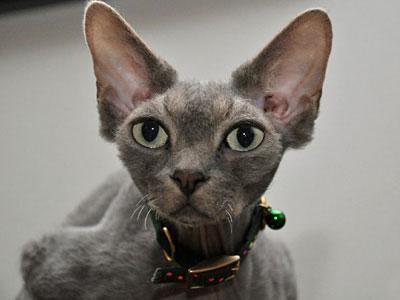 Free Grey Cat
