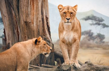 African Lioness Wallpaper