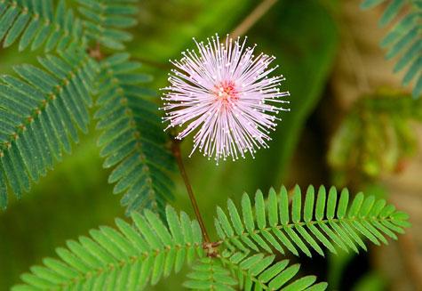 Best Mimosa Flower