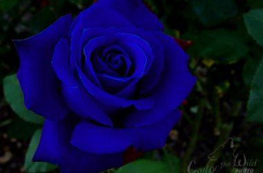 Free Blue Rose 14275