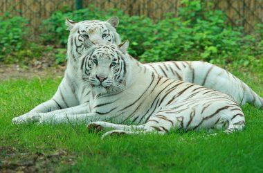 Free White Tiger
