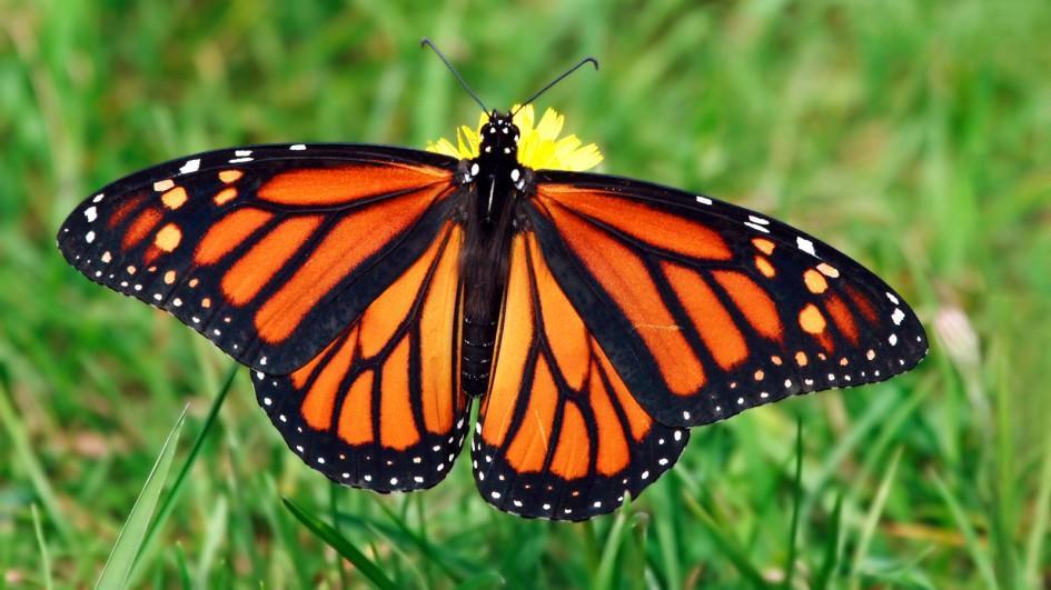 Grass Butterfly