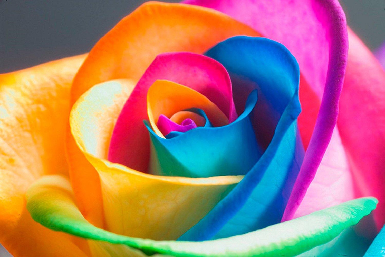HD Rainbow Rose