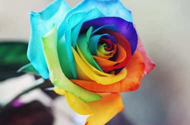 Nice Rainbow Rose 14454