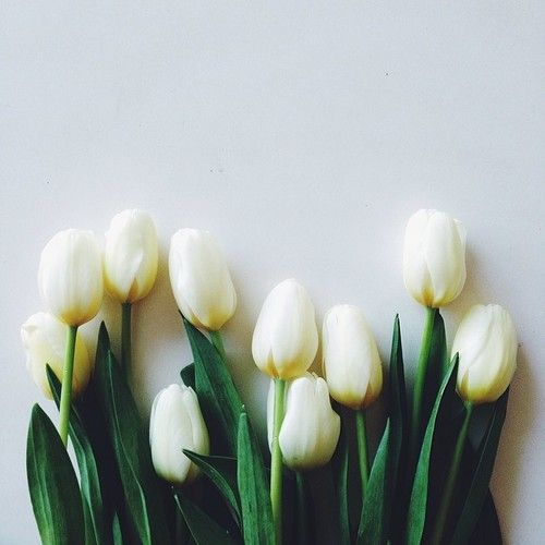Top White Tulips