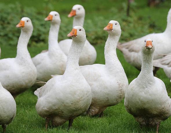Cute Geese Image