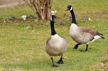 Nice Geese Image