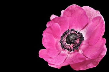 Pink Spring Flower 15175