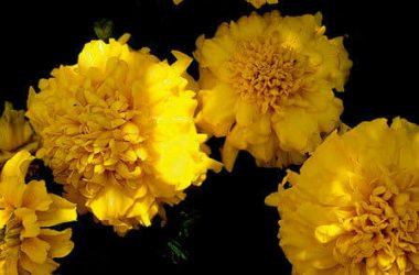 Stunning Yellow Flower 15823