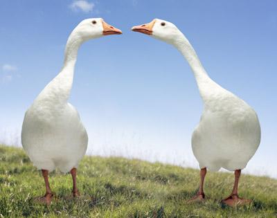 White Free Geese Image