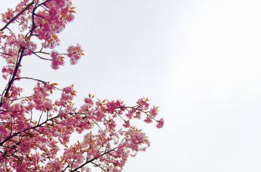 Free Cherry Blossom