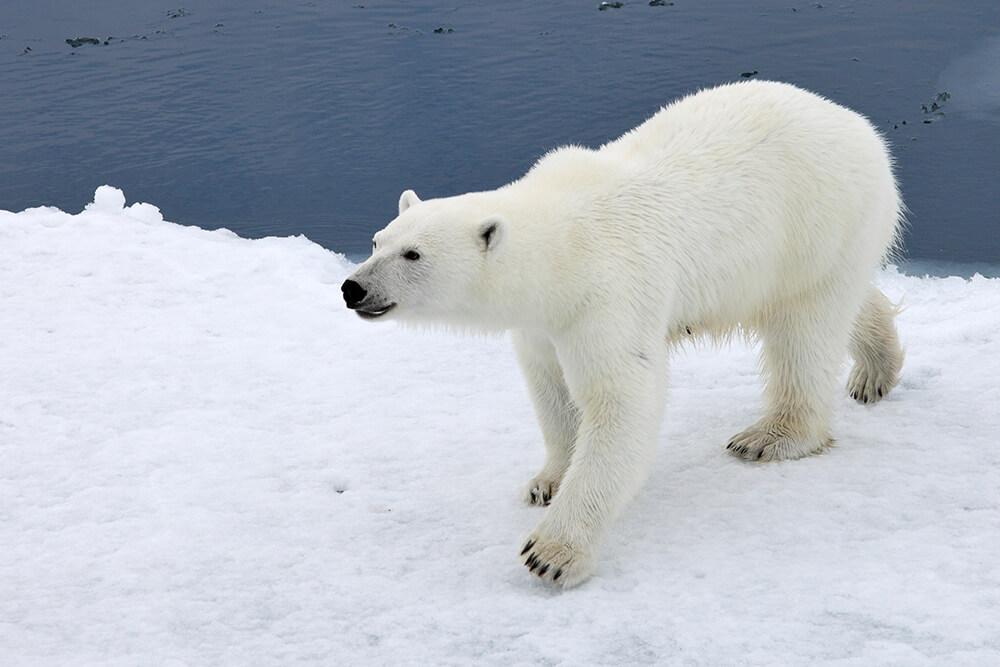 Super Polar Bear