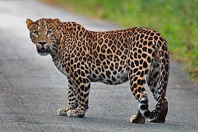 Amazing Leopard