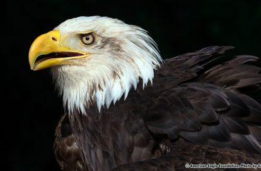 Beautiful Eagle 18398