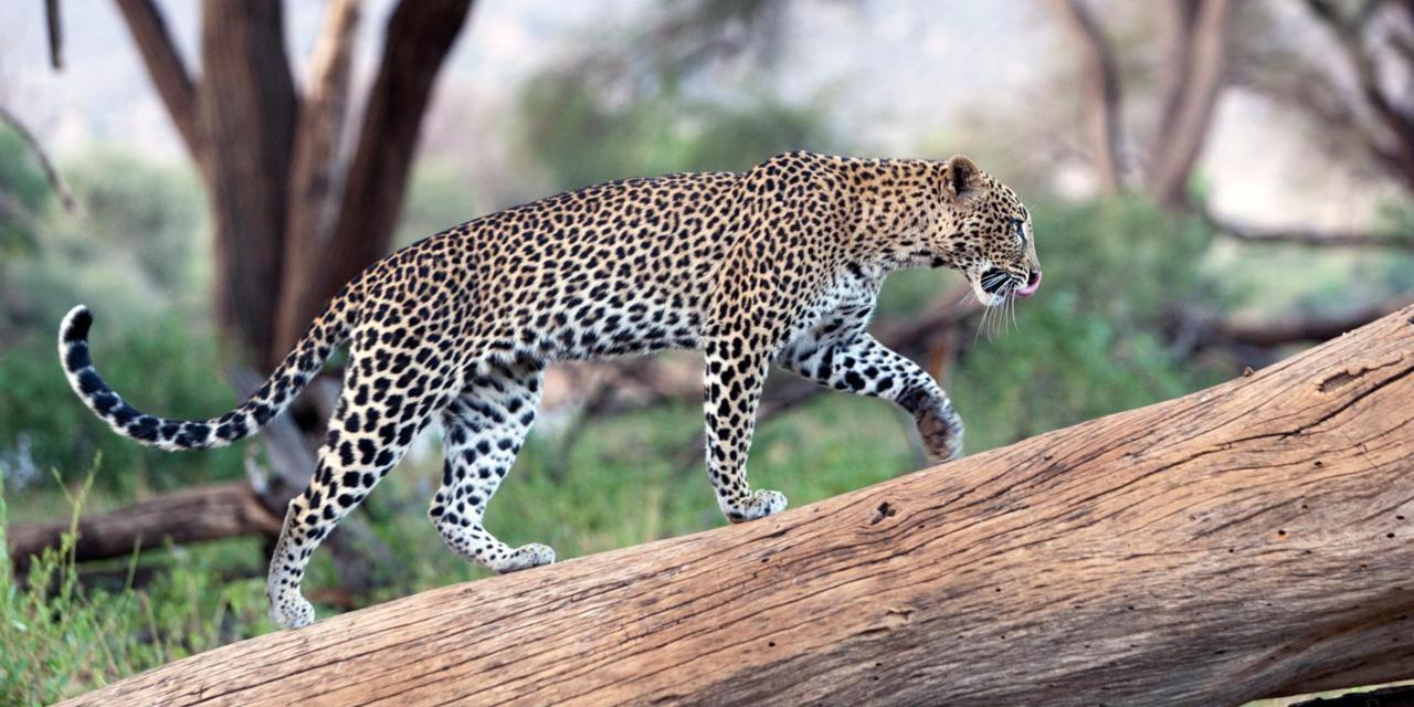 Best Leopard