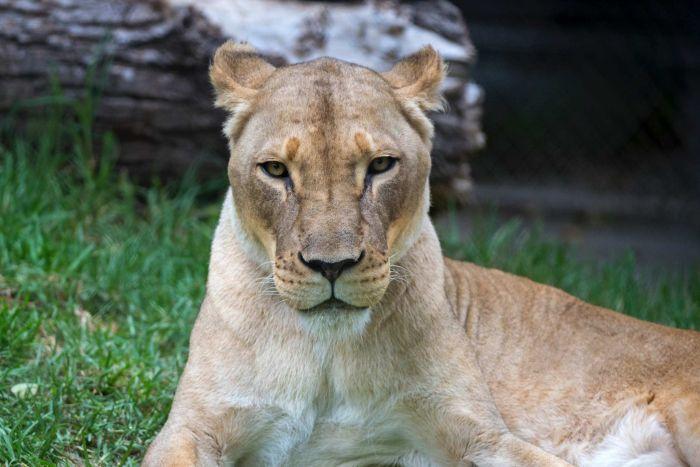 Best Lioness
