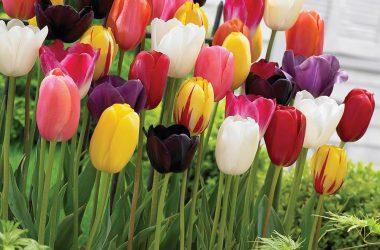 Colorful Tulip 18132