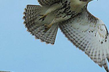 Free Hawk
