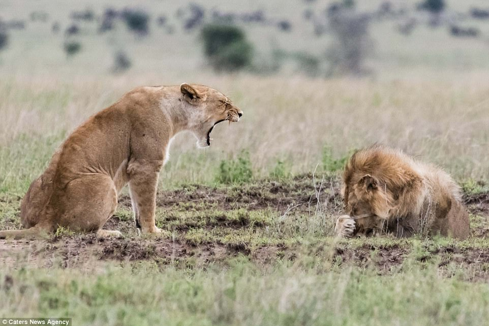 Free Lioness