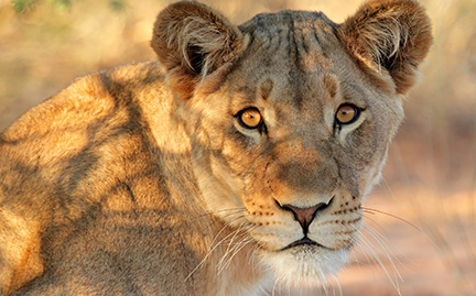Large Lioness