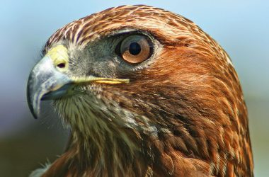 Natural Hawk 18446