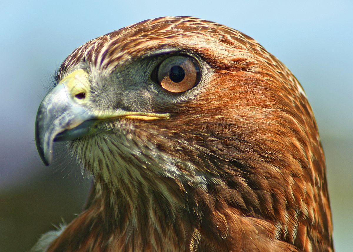 Natural Hawk