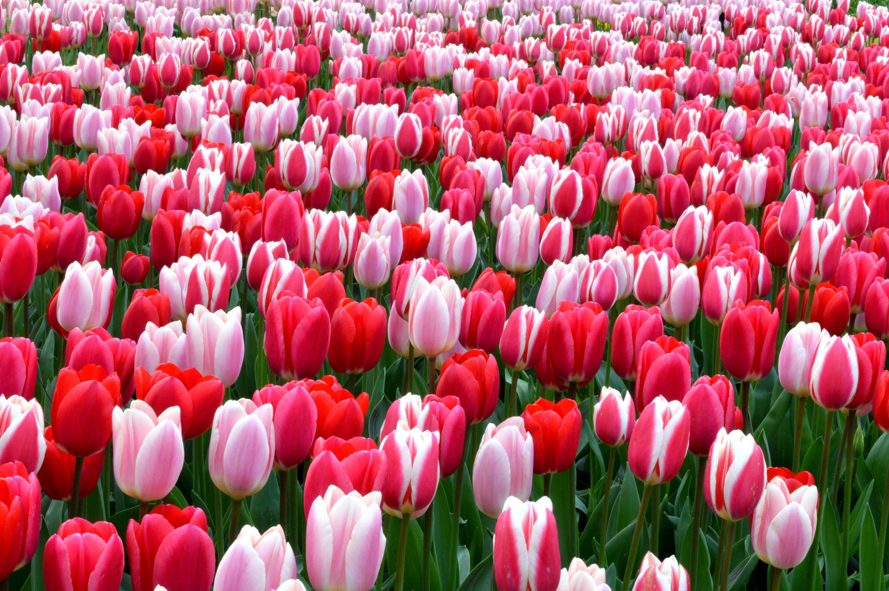 Natural Tulip