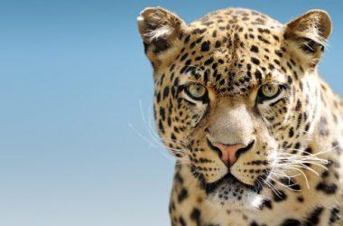 Top Leopard