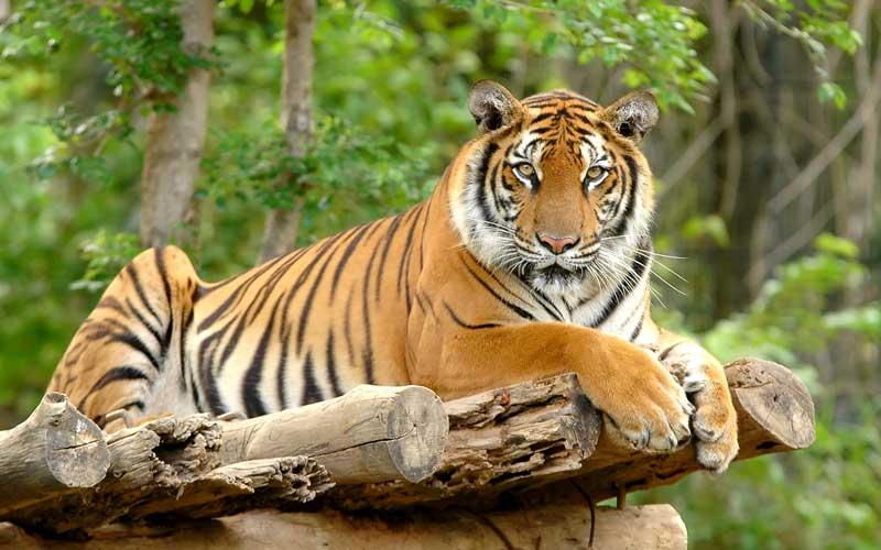 Top Tiger