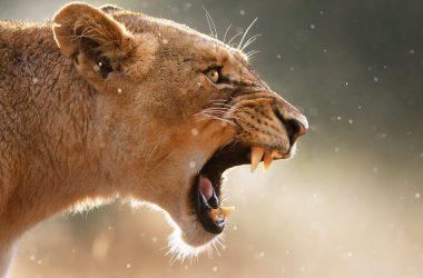 Widescreen Lioness