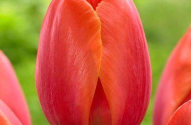 Widescreen Tulip 18145