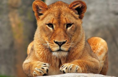 Wonderful Lioness