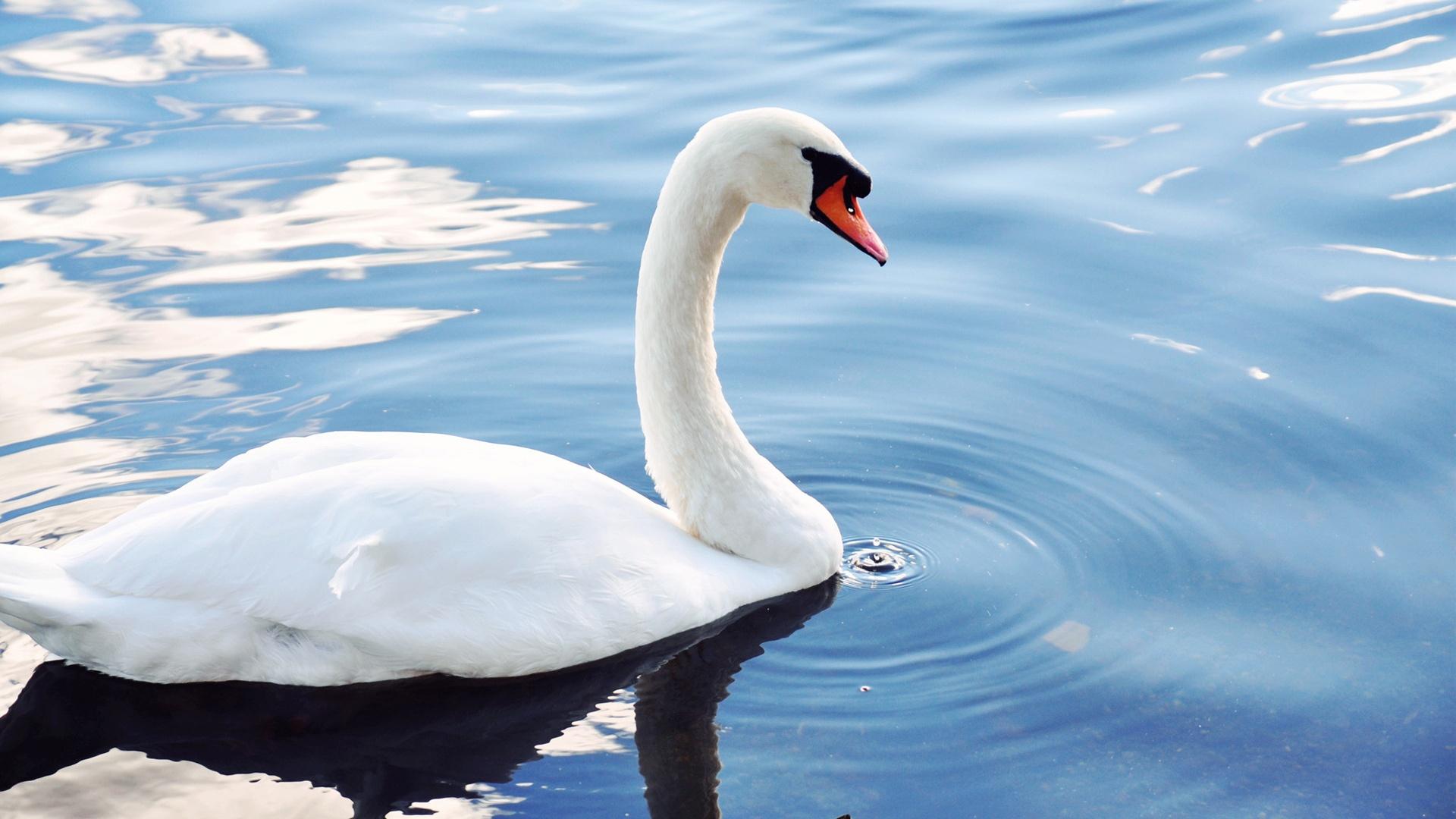 Awesome White Swan Bird