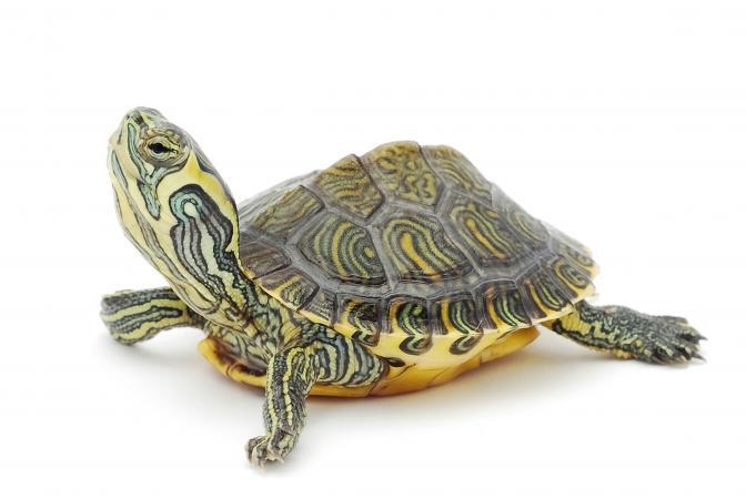 Best Turtle