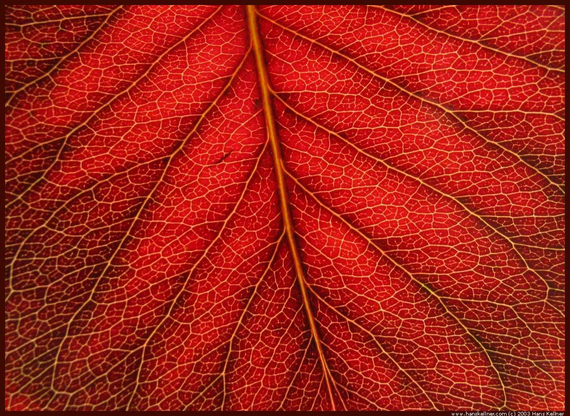Cool Red Leaf