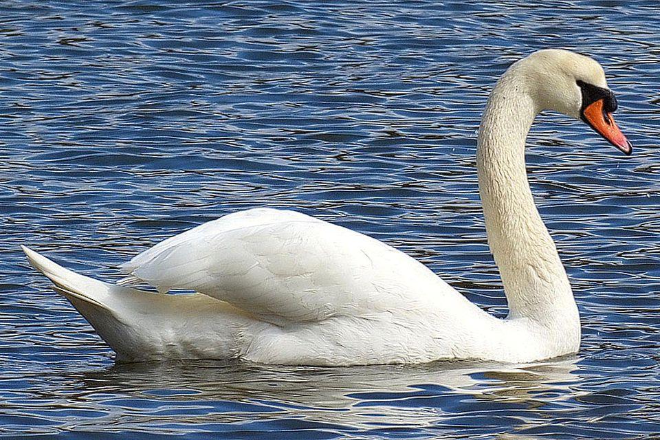 Cool White Swan Bird