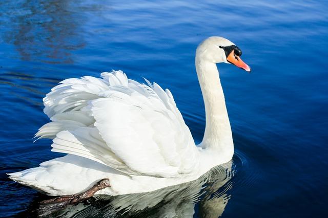 Nice White Swan Bird