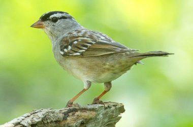Top Sparrow