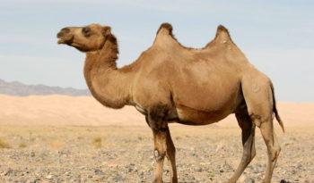 Best Camel